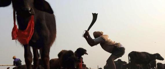 Gadhimai animal sacrifice festival in Bariyarpur